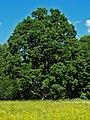Quercus robur AB.jpg