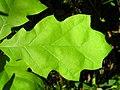 Quercus rubra 1 (5098094018).jpg