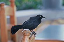 greater antillean grackle wikipedia the free encyclopedia. Black Bedroom Furniture Sets. Home Design Ideas