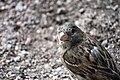 RU - Saint Petersburg - Chordata - Animalia - Aves - Passeridae - Passeriformes (4891477114).jpg