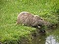 Ragondin (Myocastor coypus) (15).jpg