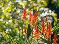 Rainbow lorikeet and Aloe sp inflorescences Arid Zone garden Brisbane Botanic Gardens Mt Coot-tha P1100030.jpg