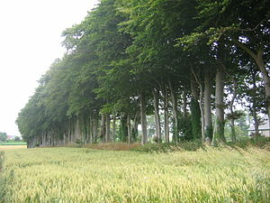 Pays de Caux - Beeches grown as a wind break around a now derelict farm on the Pays de Caux plateau.