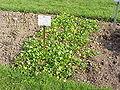 Ranunculus ficaria bulbifer1.jpg