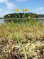 Ranunculus flammula sl6.jpg