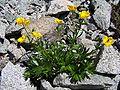 Ranunculus pseudomontanus a1.jpg