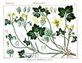 Ranunculus wallichianus Rungiah.jpg