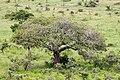 Rather nice tree (7281450574).jpg