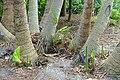 Ravenala madagascariensis - Mounts Botanical Garden - Palm Beach County, Florida - DSC03691.jpg