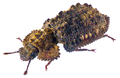 Rechodes verrucosus (Pascoe, 1860) (30228911164).png