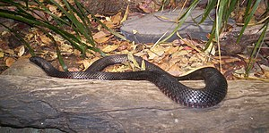 Red-bellied Black Snake .