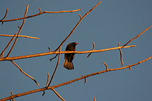 Red-billed Buffalo-weaver.jpg