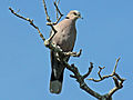 Red-eyed Dove kenya RWD.jpg