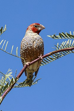 Red-headed Finch - Namib desert 0012 (22799185800).jpg