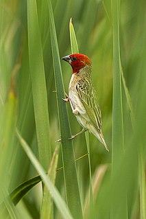 Red-headed quelea species of bird