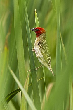 Red-headed Quelea - Natal - South Africa S4E7723 (22432117487).jpg