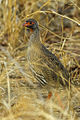 Red-necked Francolin - Malawi S4E2852 (15362427470).jpg