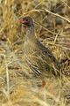 Red-necked Francolin - Malawi S4E2852 (15362427470).jpg