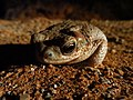 Red-spotted Toad (9444366669).jpg