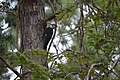 Red Crested Woodpecker (64570341).jpeg