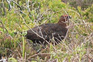 Lagopus - A red grouse (Lagopus lagopus scotica) in the Yorkshire Moors of England