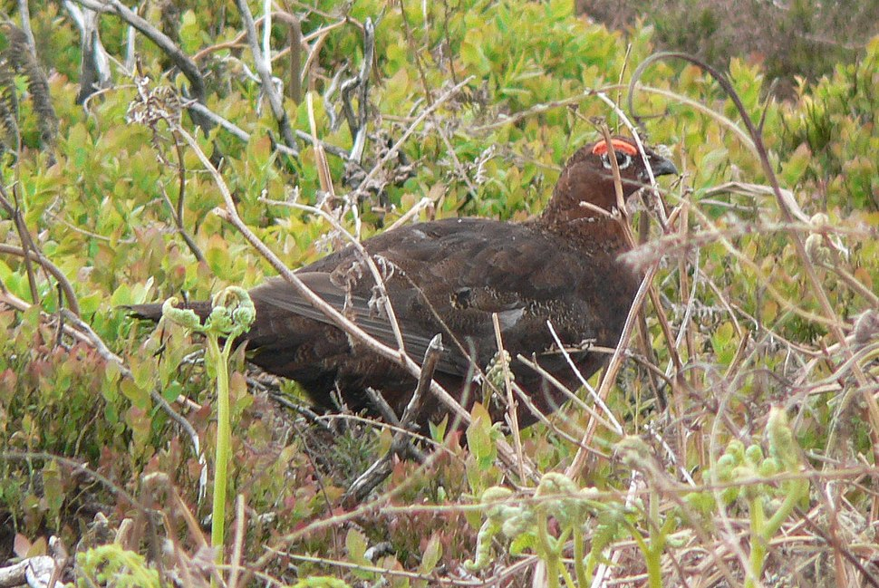 Red Grouse (May 2008)