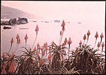 Red Hot Pokers in Madeira, with Funchal Bay Beyond, by Sarah Angelina Acland, c.1910.jpg