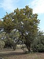 Red bushwillow Combretum apiculatum.jpg