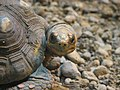 Red footed tortoise Image 006.jpg