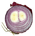 Red onion cross section 02.jpg