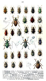 <i>Sitona sulcifrons</i> species of insect