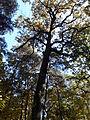 Rezerwat przyrody Dęby w Meszczach 201012 12.02.jpg