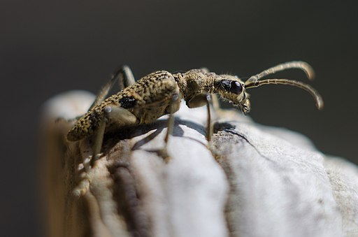 Rhagium (Megarhagium) mordax на трутовику