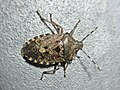 Rhaphigaster nebulosa (Pentatomidae) (Mottled Shieldbug) - (imago), Lent, the Netherlands.jpg