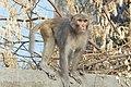 Rhesus macaque Macaca mulatta.jpg