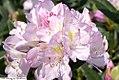 Rhododendron Album Elegans 0zz.jpg