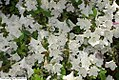 Rhododendron Allegory 2zz.jpg