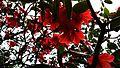 Rhododendron arboreum at Singalila National Park.jpg