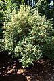 Rhododendron davidsonianum - VanDusen Botanical Garden - Vancouver, BC - DSC06873.jpg