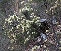 Rhododendron keiskei.JPG