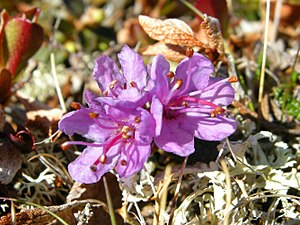Øvre Dividal National Park - Arctic rhododendron (Rhododendron lapponicum)