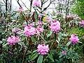 Rhododendron ponticum 03630.JPG