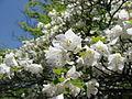 Rhododendron quinquefolium02.JPG