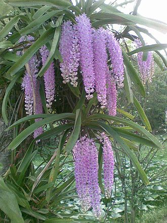 Rhynchostylis retusa - Rhynchostylis retusa, an Orchid species of frequent occurrence in Assam
