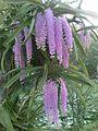 Rhynchostylis gigantea of Assam 2.jpg