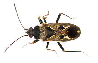 Rhyparochromidae family of insects