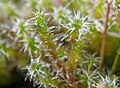 Rhytidiadelphus squarrosus 136111113.jpg
