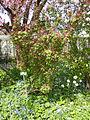 Ribes-sanguineum-Atrorubens-2.jpg