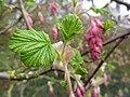 Ribes sanguineum 'Prush' (Saxifragaceae) leaves.jpg
