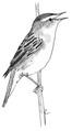 Rietzanger Acrocephalus schoenobaenus Jos Zwarts 3.tif